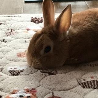 ウサギ 雄