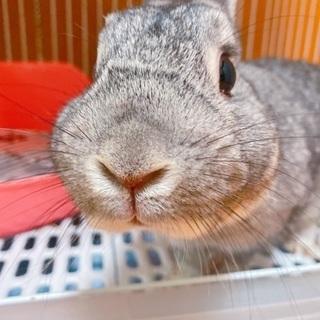 人懐こい3歳のミニウサギです!
