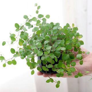 ◆ワイヤープランツ の不要な苗、鉢植えがありましたらぜひご…