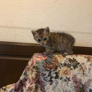 子猫2か月女の子、里親になって下さる方募集!