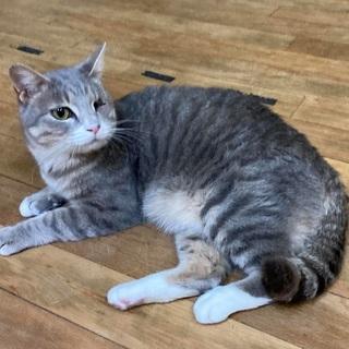 元気いっぱいのグレー猫さん - 横須賀市