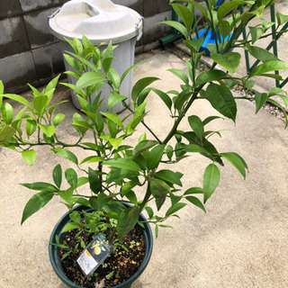 黄金柑 4年生苗木鉢植え