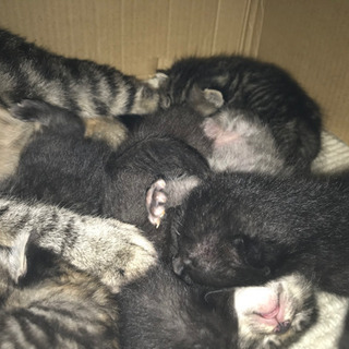 キジトラと黒猫のこねこたち