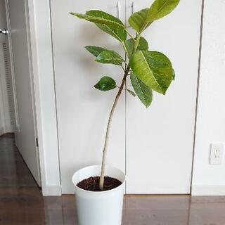アルテシーマ 観葉植物