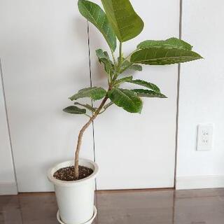 観葉植物 アルテシーマ