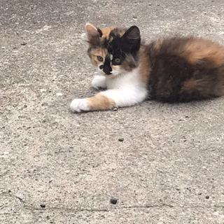 3ヶ月の元気な雌の三毛猫です