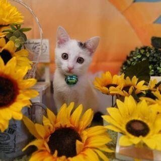 白黒子猫の女の子 1ヶ月半くらい お耳のポイント柄が可愛い