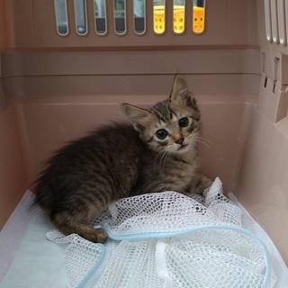 キジトラ(女の子)子猫 生後2ヶ月