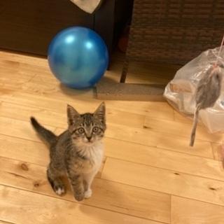 キジシロ(女の子)子猫生後3ヶ月