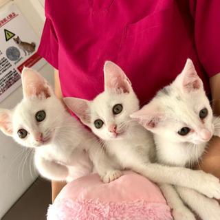帽子をちょこん♫白猫姉妹、里親募集中です!