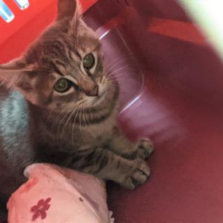グレーのフワモコ子猫さん!男の子3ヶ月くらい