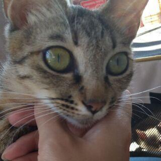 推定3.5ヶ月茶トラ女の子とキジトラ推定1歳母猫 − 山梨県