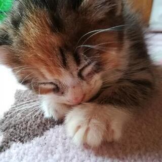 【里親が決まりました】三毛猫2ヶ月 人懐っこい 里親募集中 ※追記有り