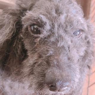 トイプードル 5歳  - 犬