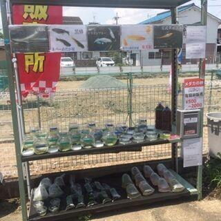 今週末17〜18日、無人古着屋MN塚口店でメダカ無人販売を開始!