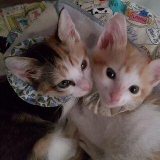 生後2ヶ月の茶シロと三毛の兄妹