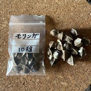 🍄奇跡の木 モリンガの種 10粒【生物ですので お早めにどうぞ!】