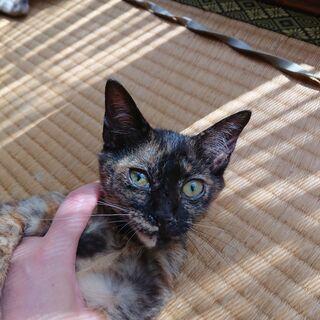 【代理掲載】美人のサビ猫・トラ