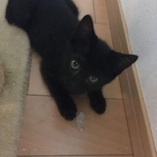 超ラブリーな黒猫💛子猫★オスメスなかよし兄妹★3ヶ月★2匹一緒に...