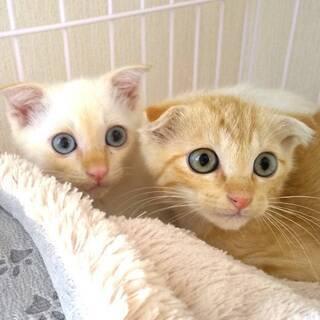 【募集一時停止させていただきます】仲良し兄弟保護猫(2ヶ月)里親募集