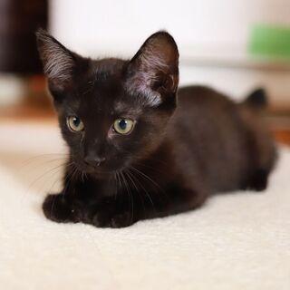 【トライアル決定】 鼻筋の通った黒猫美人(2ヶ月半~3ヶ月)