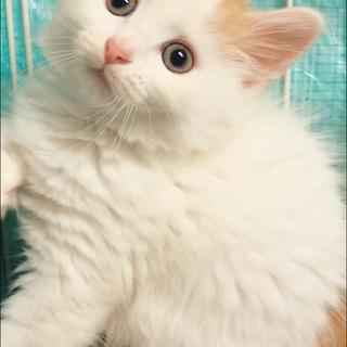サイベリアン 保護猫 子猫 ●●●本文をよくご覧下さいませ。 ●...