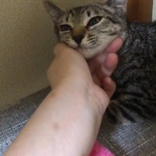 キジトラ子猫(女の子)生後4か月程