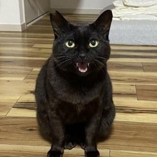 【緊急】少し臆病で小柄な黒猫ちゃん