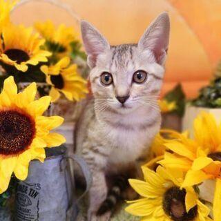 綺麗な麦わら模様の子猫  女の子2ヶ月位 美猫ちゃん