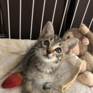 生後1ヶ月 メス 子猫