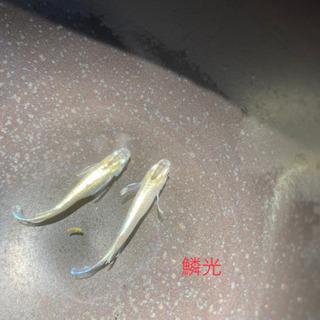鱗光メダカ(鰭長)10匹+α