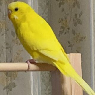黄色インコ