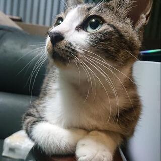 一年未満程の猫ちゃん (手術済み)《飼い主不在届け済み》