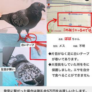 迷子のハト(鳩)を探しています(謝礼10万円)