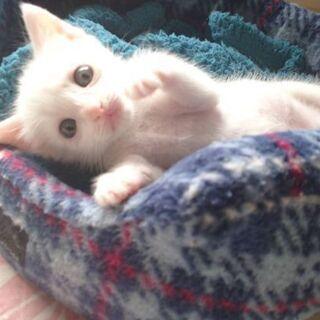 白猫の女の子 里親募集中