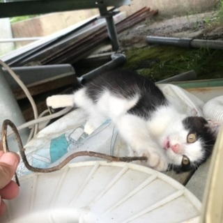 迷子の仔猫です