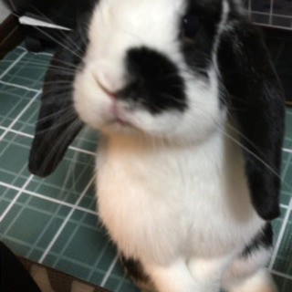 [お取引中] ウサギ ロップイヤー 里親募集