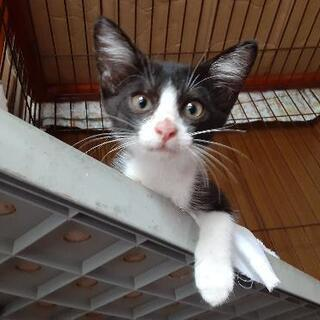 猫と人が大好き❗オス(生後2ヶ月)