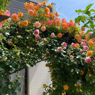 つるバラ育ててみませんか?花壇やフェンスの制作、diyのお手伝い...