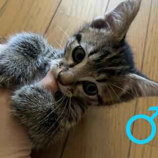 トラ猫の兄妹(もう少しで生後2ヶ月くらい)
