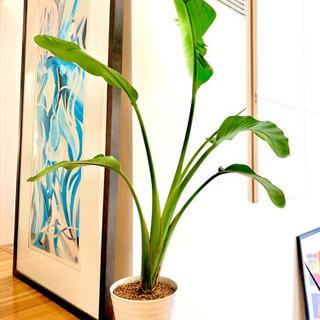 (観葉植物)オーガスタ (150cm +)