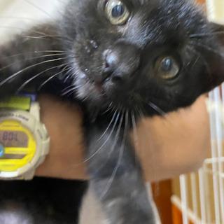 黒猫男の子生後約2ヶ月
