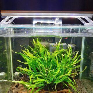 ミクロソリウムナローリーフ 水草