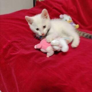 シッポだけキジの白キジ子猫2ヶ月位譲渡決定