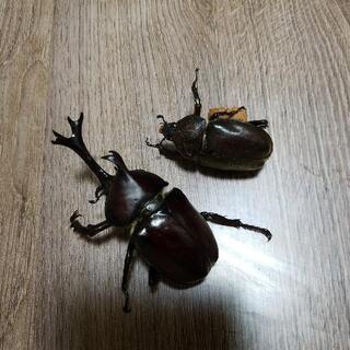 (一旦取引中止) 国産カブトムシ成虫 ペア