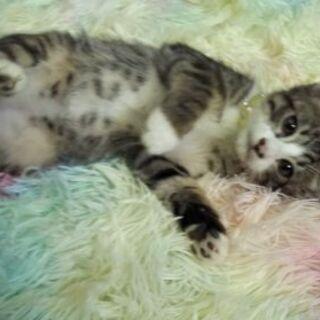 キジシロ子猫3ヶ月里親様募集♡