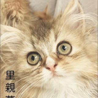 マンチカン・スコティッシュ  ミックス  子猫 ●●●本文をよく...