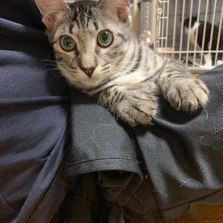 アメショ風子猫 5ヶ月オス