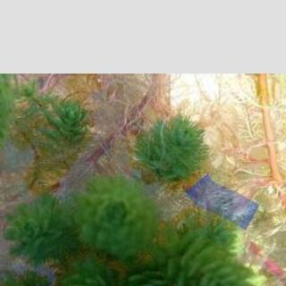 2、水草、オレンジミリオフィラム