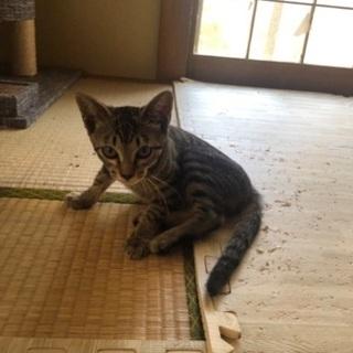 キジトラ子猫(女の子)生後4ヶ月程